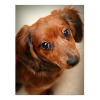 Long-Haired Dachshund Puppy Post Card