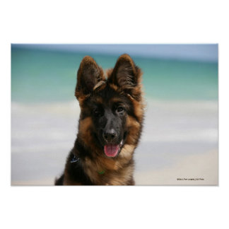 Long Haired German Shepherd Beach Poster
