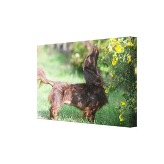Long-haired Miniature Dachshund 1 Canvas Print