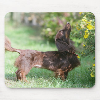 Long-haired Miniature Dachshund 1 Mouse Pad