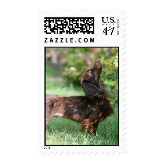 Long-haired Miniature Dachshund 1 Postage Stamp