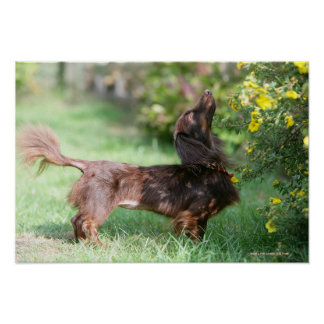 Long-haired Miniature Dachshund 1 Poster