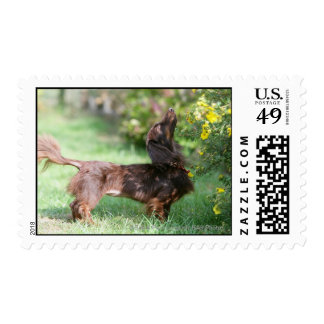 Long-haired Miniature Dachshund 1 Stamp