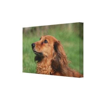 Long-haired Miniature Dachshund 2 Canvas Print