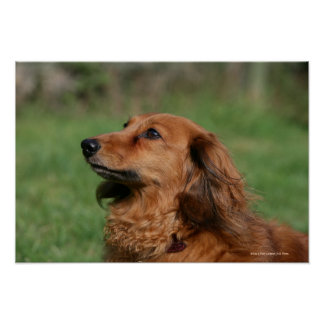 Long-haired Miniature Dachshund 2 Poster