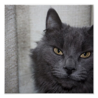 Long haired Russian Blue Cat Print