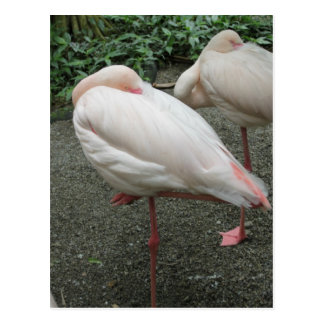 Long Legged Flamingo Postcard