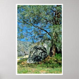 Long-Needled Pine Casting Shadows Print