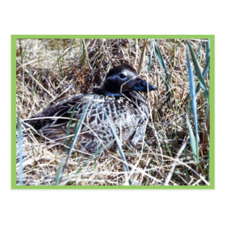 Long-tailed Duck on Nest Postcard
