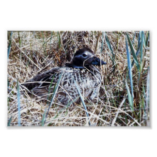 Long-tailed Duck on Nest Print