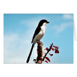 Long-tailed fiscal shrike greeting card