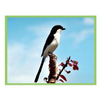 Long-tailed fiscal shrike postcard