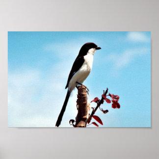 Long-tailed fiscal shrike poster