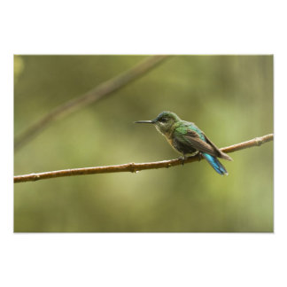 Long-tailed Sylph Aglaiocercus kingi) female, Photo Print