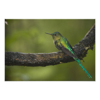 Long-tailed Sylph Aglaiocercus kingi) male, Photo Print