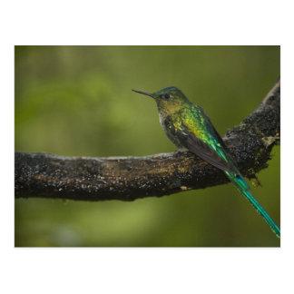 Long-tailed Sylph Aglaiocercus kingi) male, Postcard