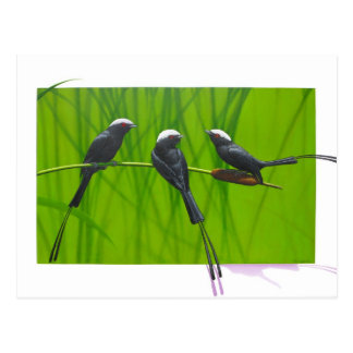Long-tailed Tryant Postcard