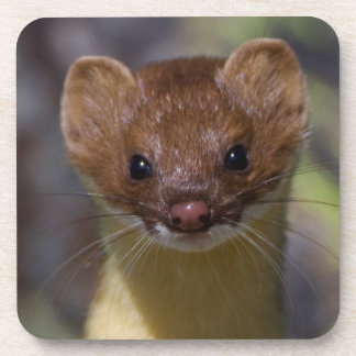 Long-tailed Weasel Coaster