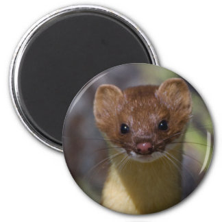 Long-tailed Weasel Magnet