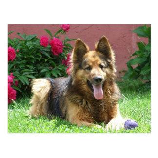 Longhair German Shepherd Postcard