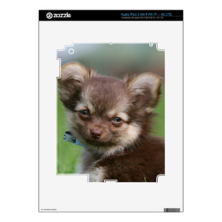 Longhaired Chihuahua Puppy Looking at Camera Decals For iPad 3
