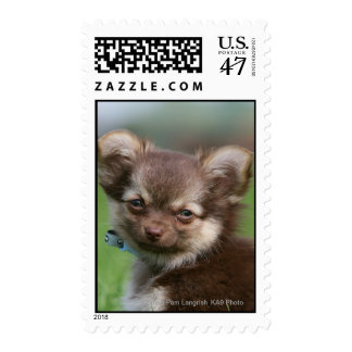 Longhaired Chihuahua Puppy Looking at Camera Postage