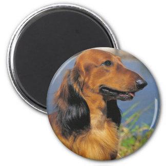 Longhaired Dachshund  magnet