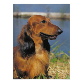 Longhaired Dachshund  poster