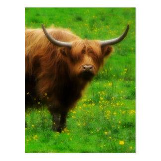 Longhaired Highland LongHorn with Long Horns Postcard