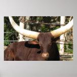 Longhorn Steer Poster