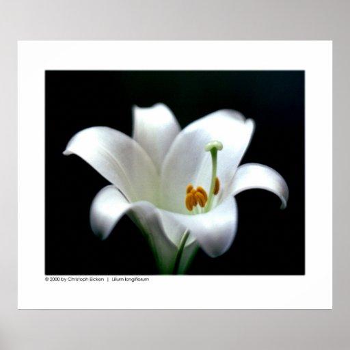 Longiflorum del Lilium del lirio de pascua el | Posters