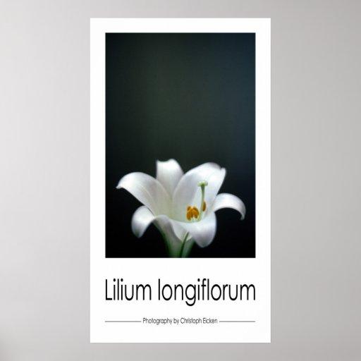 Longiflorum del Lilium (lirio de pascua) Impresiones