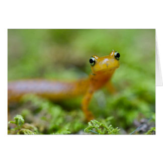 Longtail Salamander Card