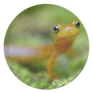 Longtail Salamander Dinner Plate