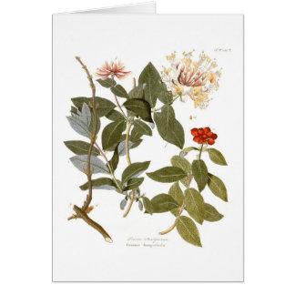 Lonicera periclymenum (Honeysuckle) Card