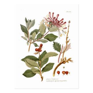 Lonicera periclymenum (Honeysuckle) Postcard