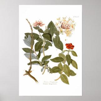 Lonicera periclymenum (Honeysuckle) Print