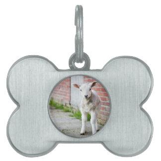 Looking lamb stands near brick wall pet ID tag