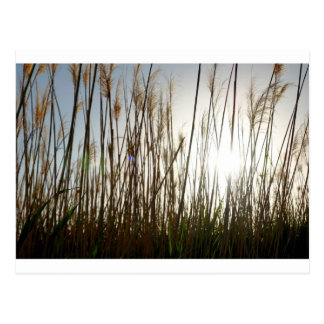 Looking through the tall Grass Post Cards