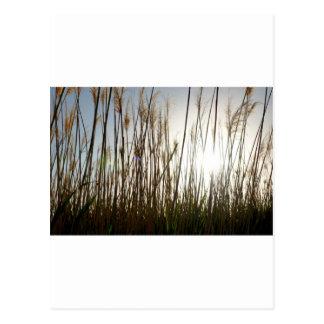 Looking through the tall Grass Postcard