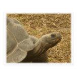 Looking Tortoise Postcards