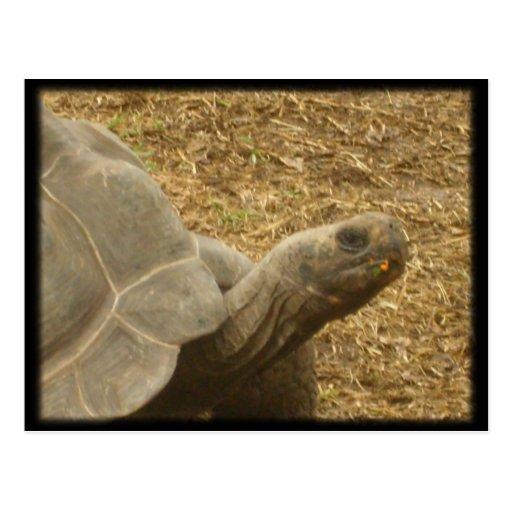 Looking Turtle Postcard