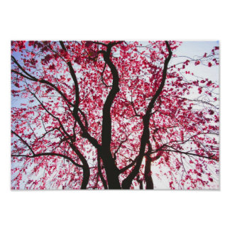 Looking Under A Pink Weeping Willow Tree Poster