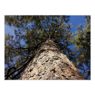 Looking Up to Sky through Pine Tree Poster