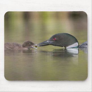 Loon Adult Feeds Chick Mouse Pad
