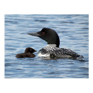 Loon and baby postcard