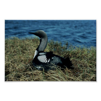 Loon on nest poster