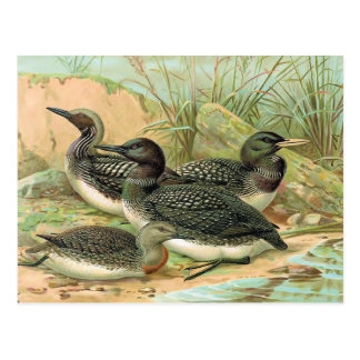 Loons Vintage Bird Illustration Postcard