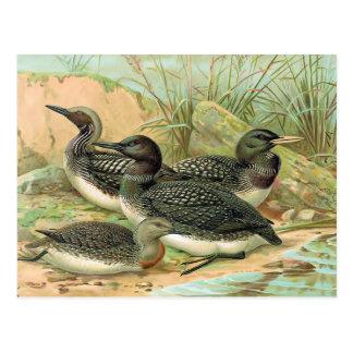 Loons Vintage Bird Illustration Postcards