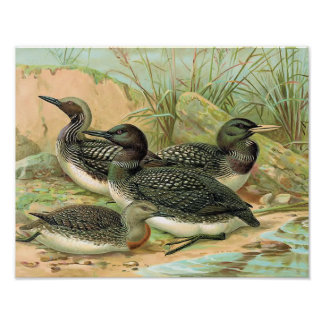Loons Vintage Bird Illustration Poster